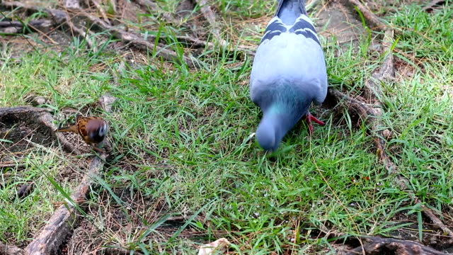 Dove pigeon bird walking on the nature ground with ambient sound