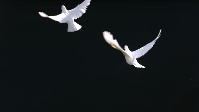 Doves fly against black background, slow motion