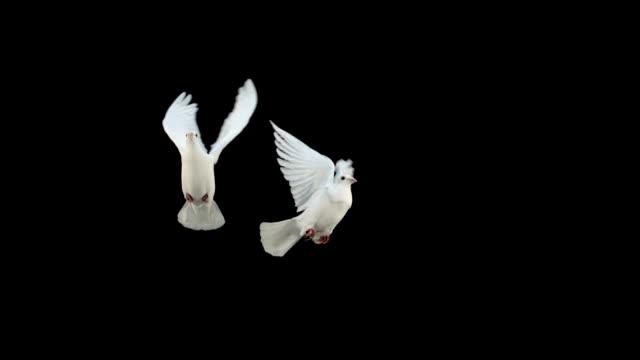 colombe volare su sfondo nero - colomba video stock e b–roll