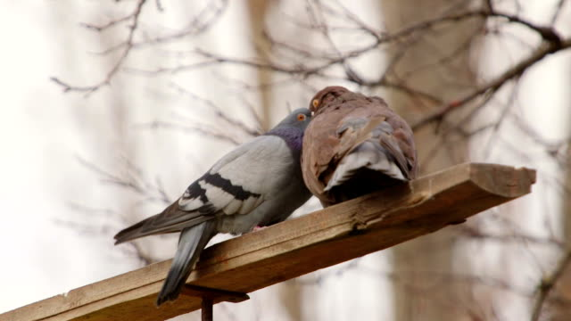 Doves sexual behaviour Doves sexual behaviour videos of dogs mating stock videos & royalty-free footage