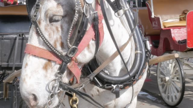 Draft Horse Hitched to a Wagon for Horse Drawn Carriage Tours in 4k Draft horse hitched to a wagon for horse drawn carriage tours in 4k. Carriage rides are a popular family friendly tourist attraction in historical towns for site seeing. south carolina stock videos & royalty-free footage