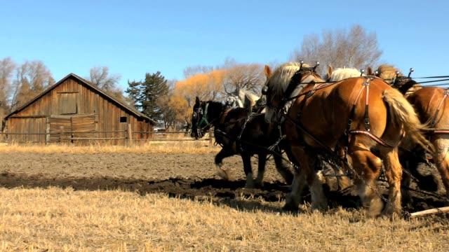 Draft horse plow team and old farm Draft horse team, pulling a plow, come around a corner in front of an old farm. plow stock videos & royalty-free footage