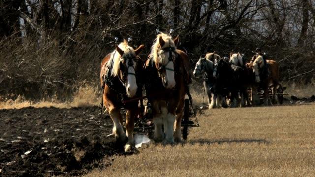 Draft horse teams pulling plows Two teams of Belgian draft horses pulling plows plow stock videos & royalty-free footage