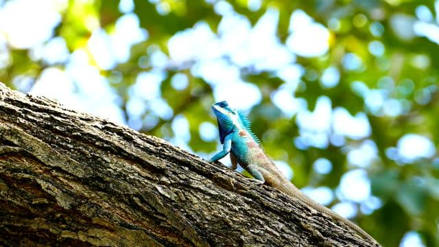 Dragon lizard in nature. video