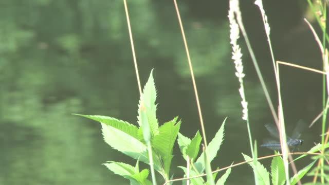 stockvideo's en b-roll-footage met dragonflies - hd 30f - arthropod