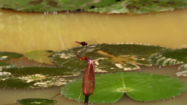 dragonflies in red color in flight. - libellulidae video stock e b–roll