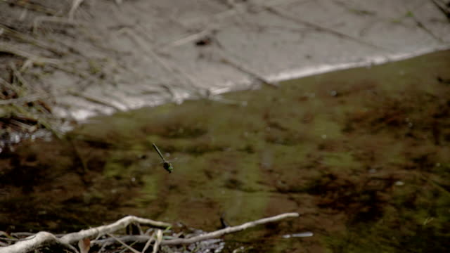 A dragonfly about to land on the muddy sticks