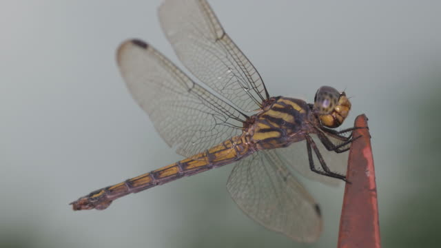 dragonfly breathing video