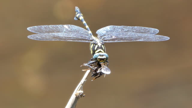 Dragonfly catching bee for feeding. video