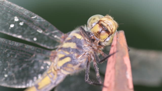 dragonfly cleaning its head video
