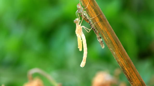 Dragonfly emerging from larva Dragonfly emerging and spreading the wings in time lapse video... larva stock videos & royalty-free footage