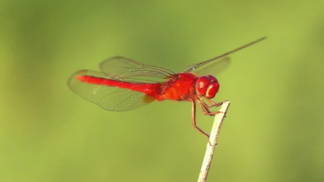 vidéos et rushes de ralenti vol de libellule - insecte
