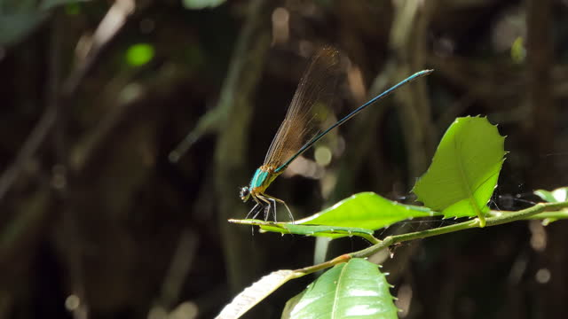 Dragonfly in tropical rain forest. video