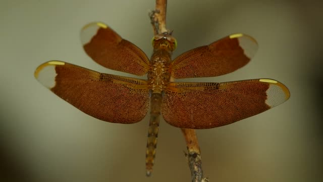 dragonfly is resting on the twig video