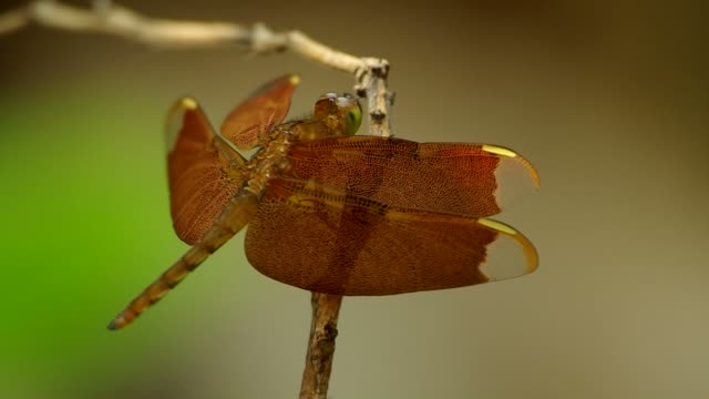 dragonfly is resting video