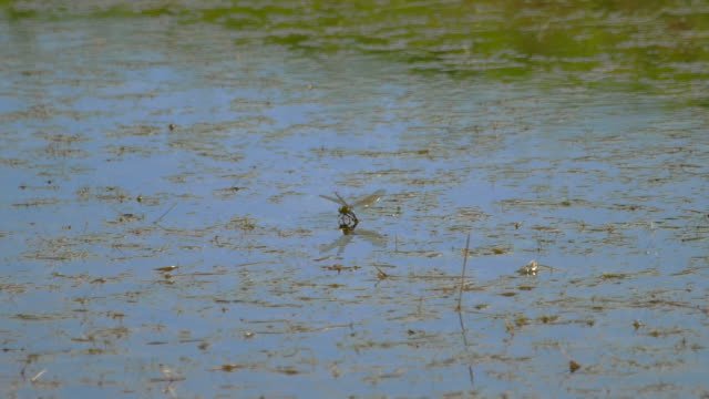 Dragonfly lays eggs Dragonfly lays eggs on the pond animal limb stock videos & royalty-free footage