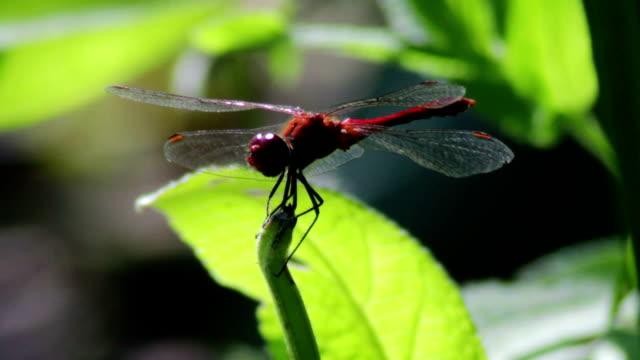 dragonfly auf einem ast plant - gliedmaßen körperteile stock-videos und b-roll-filmmaterial