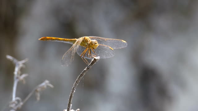 dragonfly on a branch - libellulidae video stock e b–roll