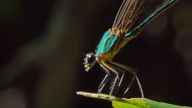 Dragonfly on branch in tropical rain forest. video