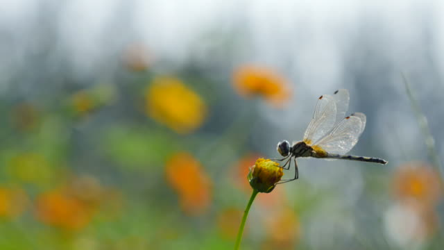 Dragonfly on cosmos flower. video