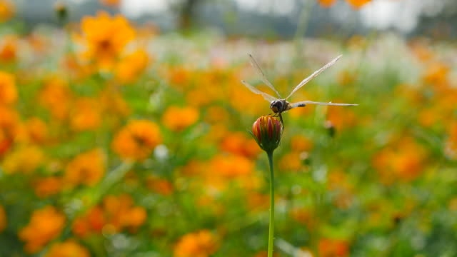 Dragonfly on flower. video