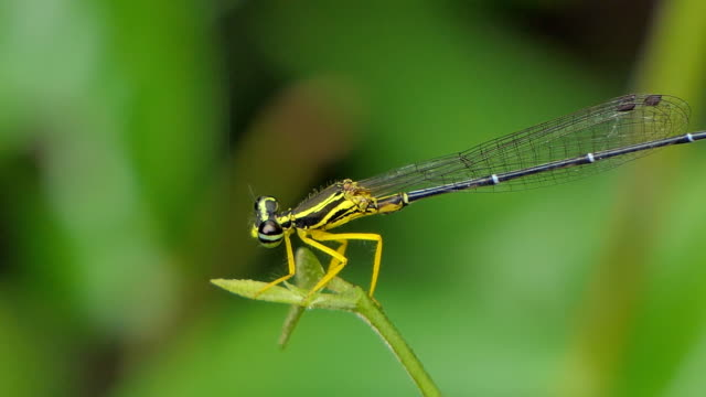 Dragonfly on green leaf in tropical rain forest. video