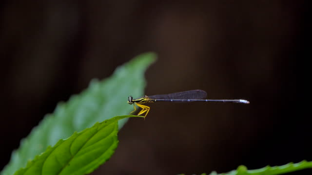Dragonfly on leaf in tropical rain forest. video