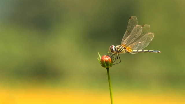 Dragonfly on the cosmos flower in the garden video