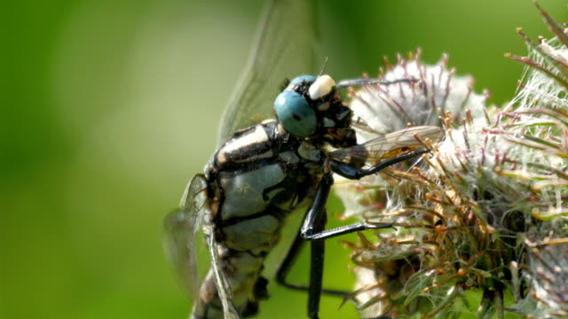 A dragonfly on the flower nectar