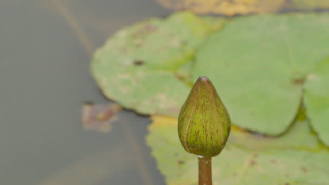 Dragonfly rests on lotus. video