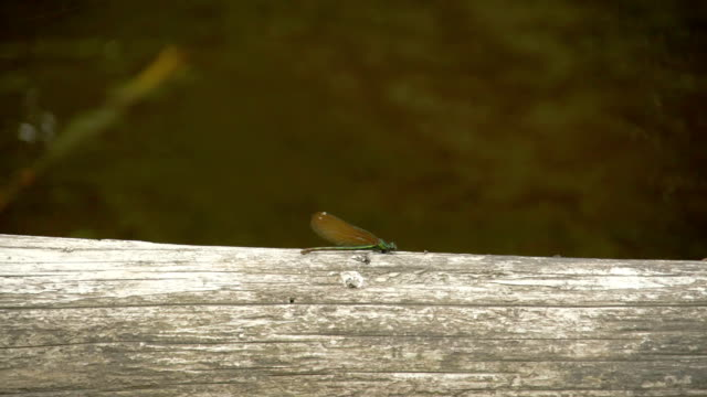 A dragonfly sticking on the wood 4K FS700 Odyssey 7Q video