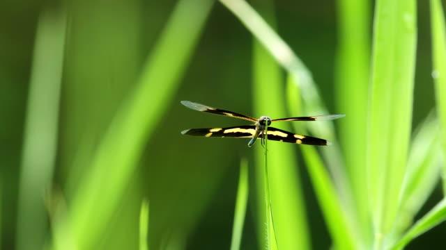 Dragonfly: Variegated Flutterer on leaf in wind video