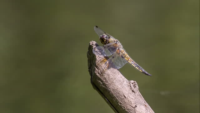 Dragonfly A dragonfly sits on a dry twig midday stock videos & royalty-free footage