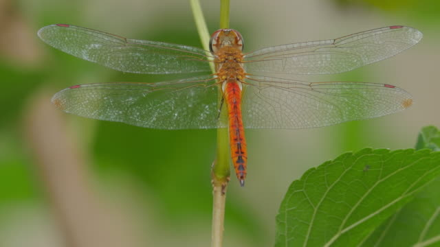 Dragonfly video