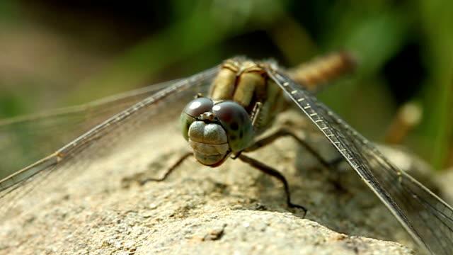 libellula - libellulidae video stock e b–roll