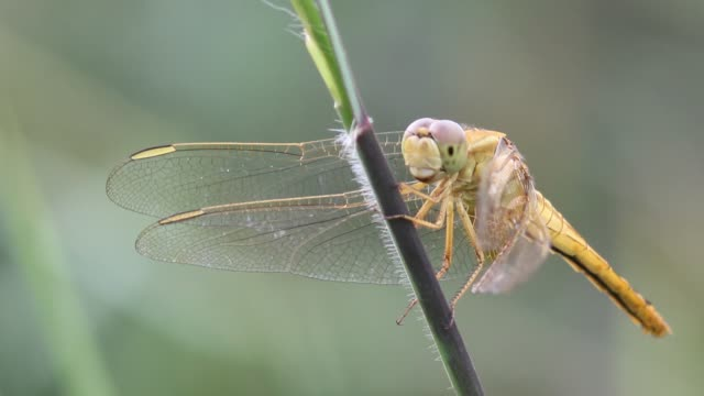 dragonfly - libellulidae video stock e b–roll
