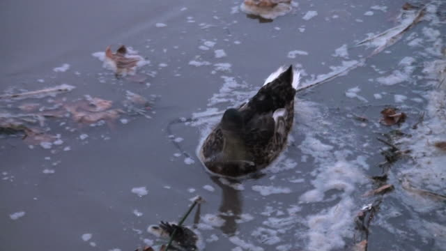 Dramatic cohabitation and adaptation of a duck in polluted waters video