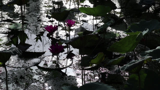 Dramatic water garden morning view. India red water lily flowers and lotus leaves.