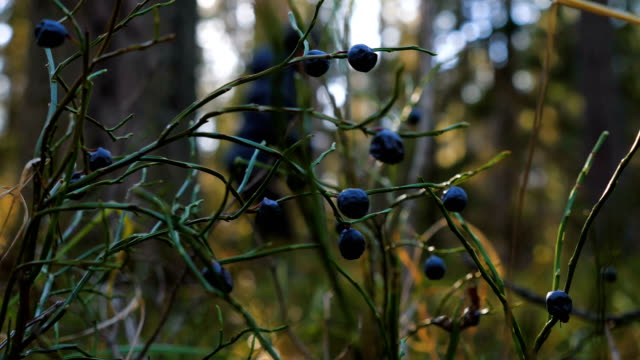 Dried blueberries in the autumn forest.