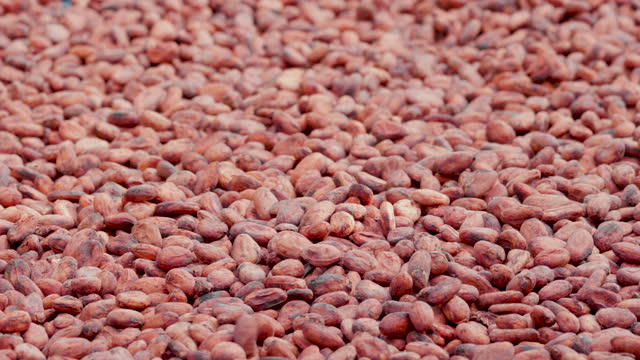 Dried cocoa beans under the sun and Cocoa beans selection.