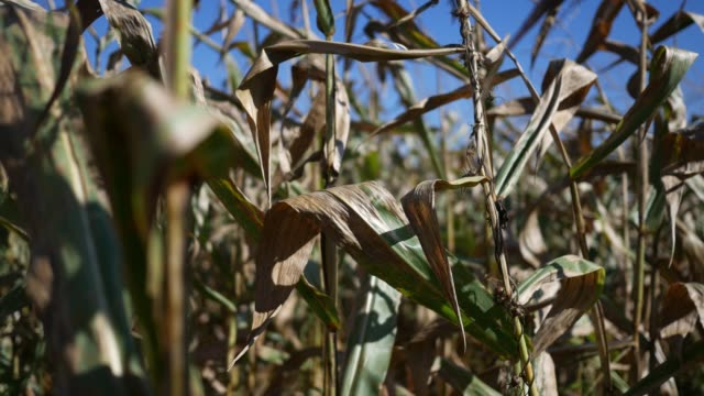 Dried corn stalks shaking in the wind in farmland - handheld version