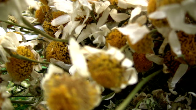 Dried daisy video