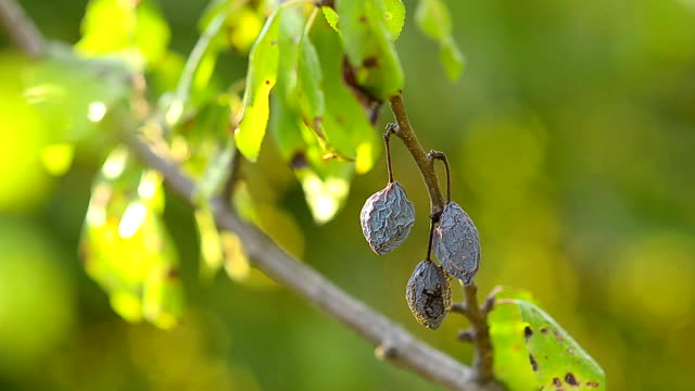 Dried fruit blue plum on a branch video