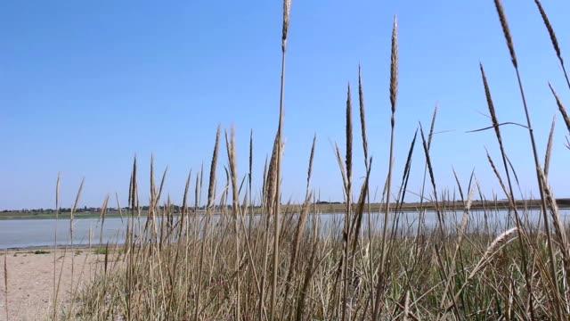 getrocknetes gras schwankt im wind vor dem hintergrund eines salzsees. trockenes gras auf dem see. - rohrblattinstrument stock-videos und b-roll-filmmaterial
