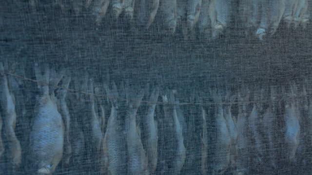 kurutulmuş roach asılı ve kurur - gazlı bez stok videoları ve detay görüntü çekimi