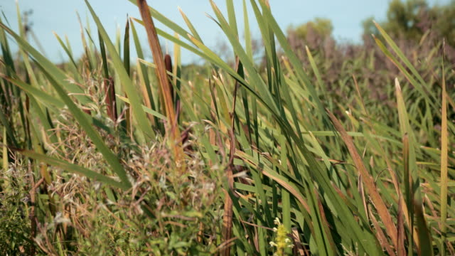 dried rush and reed cattails swamp grass high the nature landscape outdoors
