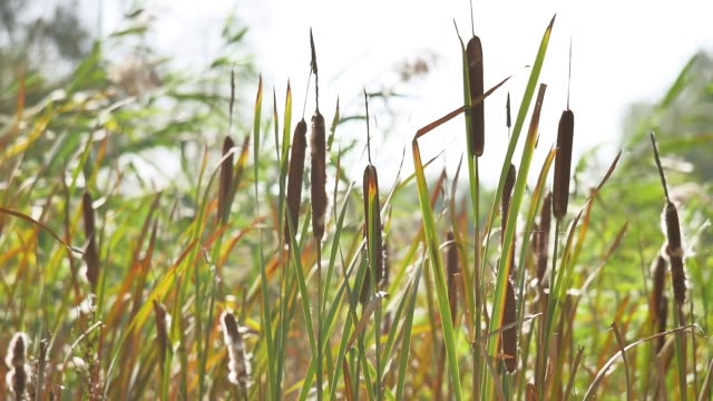 dried rush and reed Cattails swamp grass high the nature landscape outdoors Russia dried rush and reed Cattails swamp grass high nature landscape outdoors Russia marsh stock videos & royalty-free footage