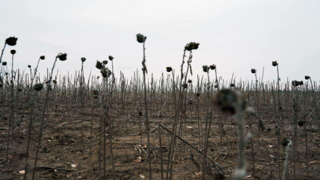 vídeos de stock e filmes b-roll de dried sunflowers, dry field, empty field - apocalipse