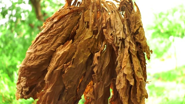 dried tobacco leaves leaf drying - nicotina video stock e b–roll