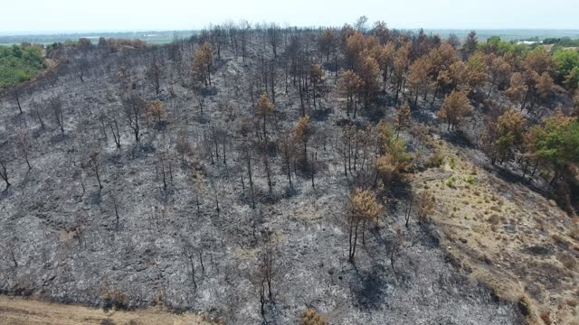 Dried Trees that Turned to Ash the Day After the Forest Fire